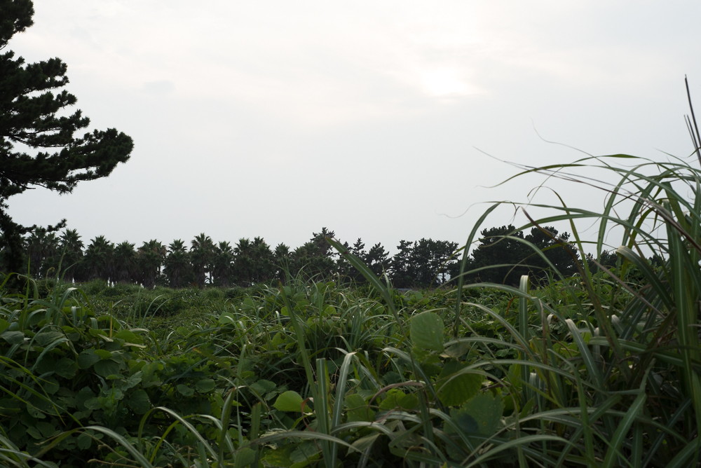 green grass on Jeju Island Korea