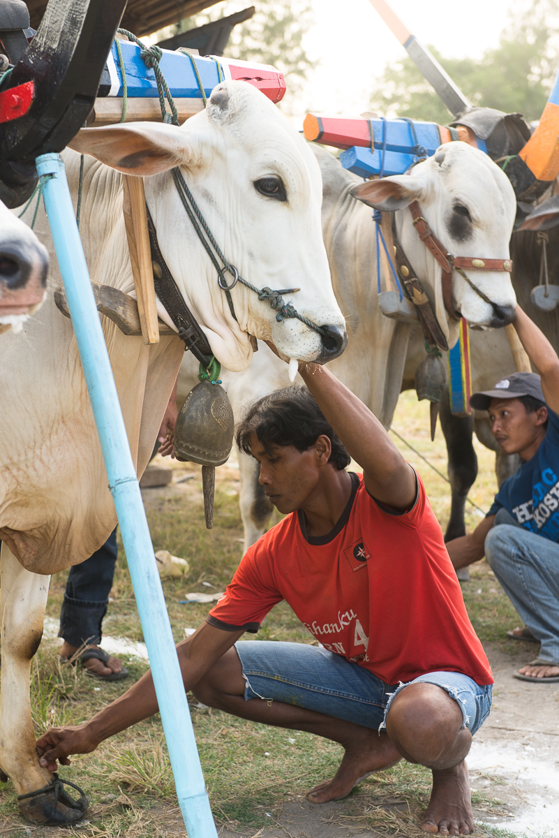 man tends to cow at festival in Yogyakarta
